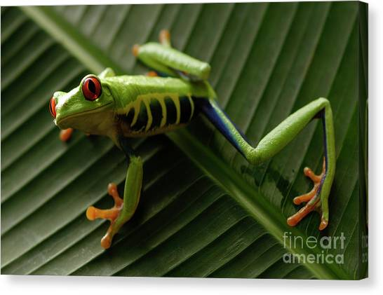 Tree Frog 16 Canvas Print