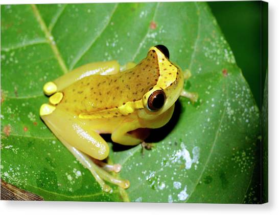 Amazon Rainforest Canvas Print - Tree Frog by Dr Morley Read/science Photo Library