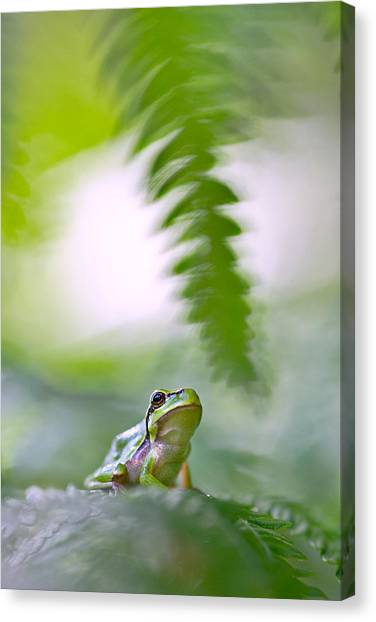 Frogs Canvas Print - tree frog Hyla arborea by Dirk Ercken