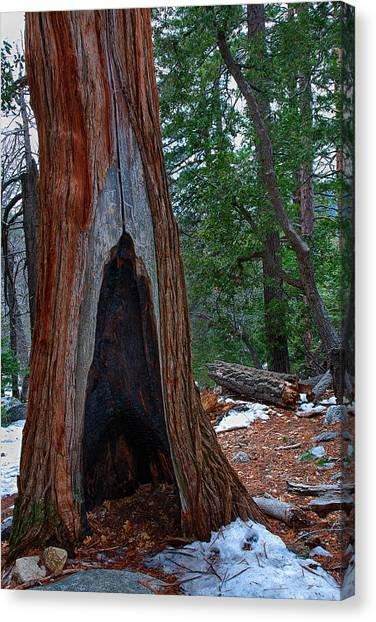 Tree Hollow Canvas Print by Peter Tellone