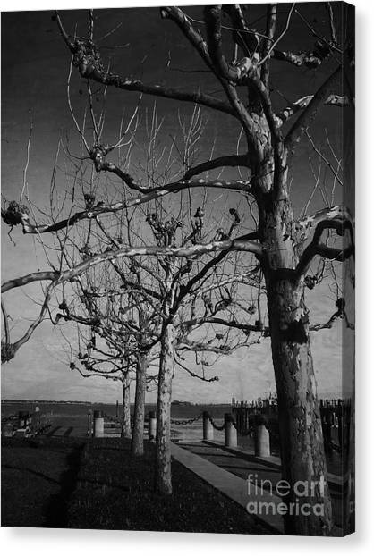 Tree In A Row  Canvas Print