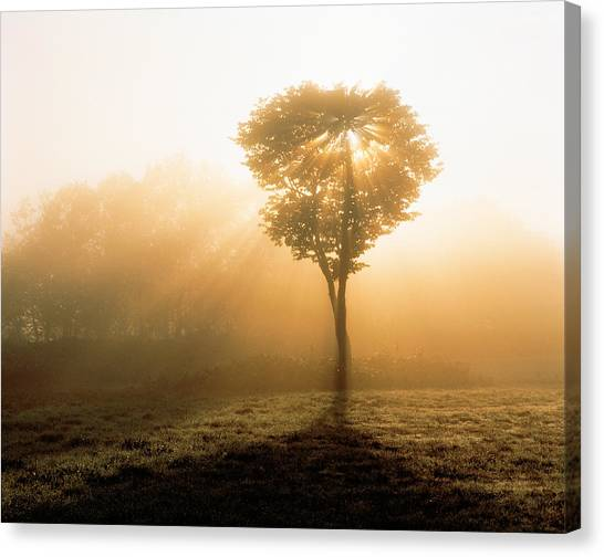 Murky Canvas Print - Tree In Early Morning Mist by Panoramic Images