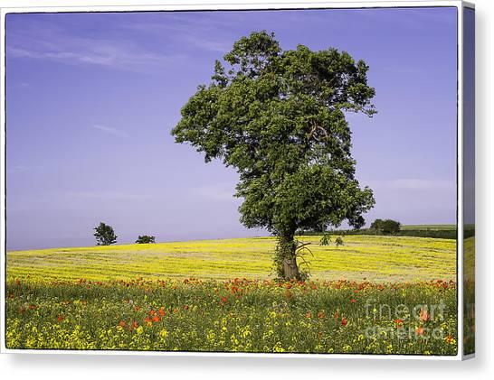 Tree In Rape Field No1 Canvas Print by George Hodlin