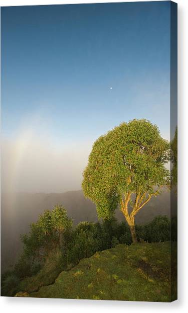 Cloud Forests Canvas Print - Tree In Sunlight, Tres Cruces Region by Howie Garber