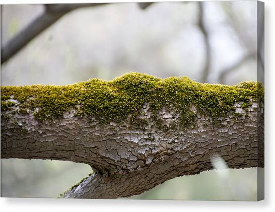 Tree Moss Canvas Print by Mark Holden
