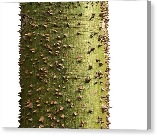 Floss Canvas Print - Tree On White - Ceiba Speciosa - Silk Floss by Matt Tilghman