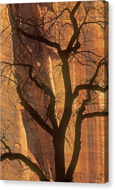 Tree Silhouette Against Sandstone Walls Canvas Print