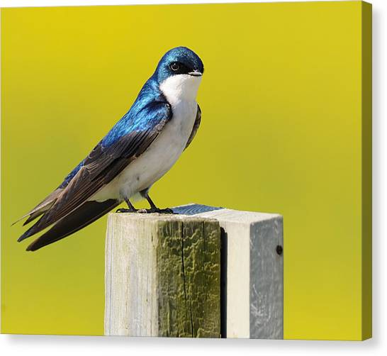 Tree Swallow Canvas Print by Angel Cher