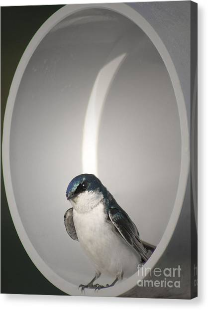Tree Swallow Canvas Print