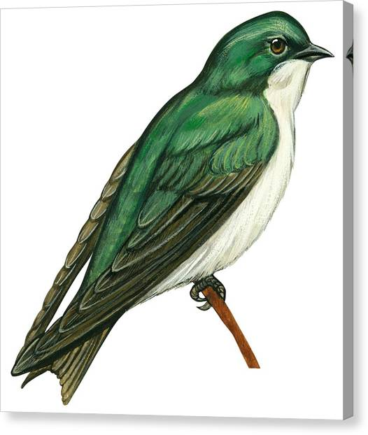 Swallows Canvas Print - Tree Swallow  by Anonymous