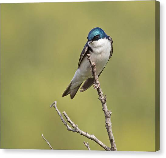 Tree Swallow Canvas Print by Brian Magnier