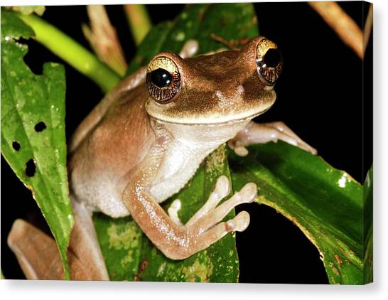 Amazon Rainforest Canvas Print - Treefrog by Dr Morley Read/science Photo Library