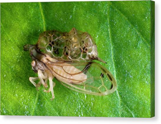 Treehopper Canvas Print by Philippe Psaila/science Photo Library