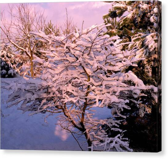 Trees Covered In Snow Canvas Print by Maurice Nimmo/science Photo Library