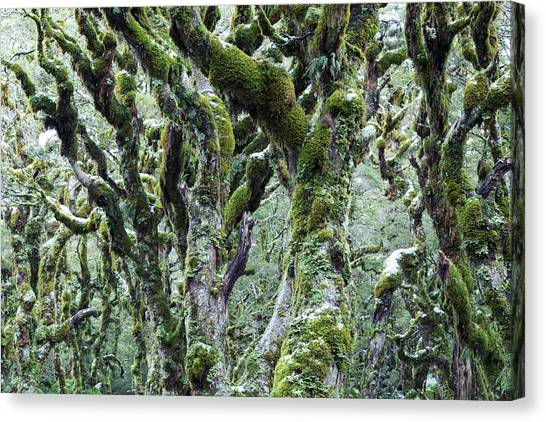 Trees Covered With Moss And Frost, New Canvas Print by Matteo Colombo