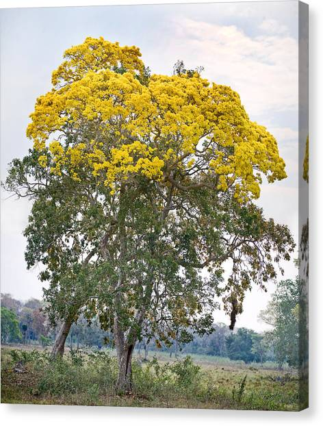 The Pantanal Canvas Print - Trees In A Field, Three Brothers River by Panoramic Images