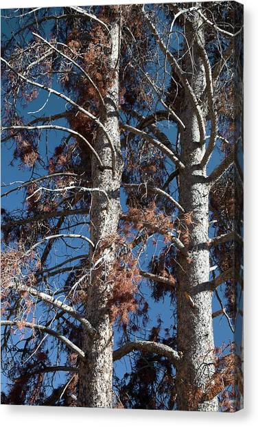 Outbreak Canvas Print - Trees Killed By Mountain Pine Beetles by Jim West