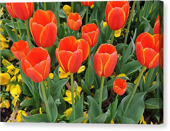 Trendy Tulips  Canvas Print