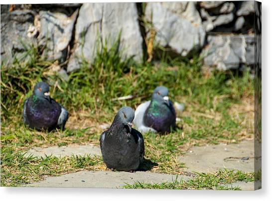Tres Pigeons Canvas Print