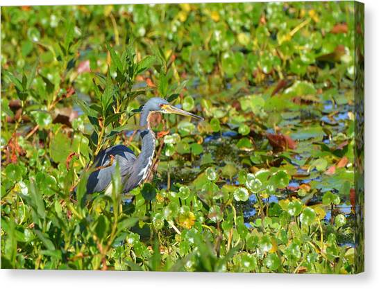 Tri Colored Heron 2 Canvas Print