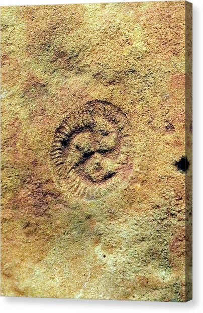 Tribrachidium Fossil Canvas Print by Sinclair Stammers/science Photo Library