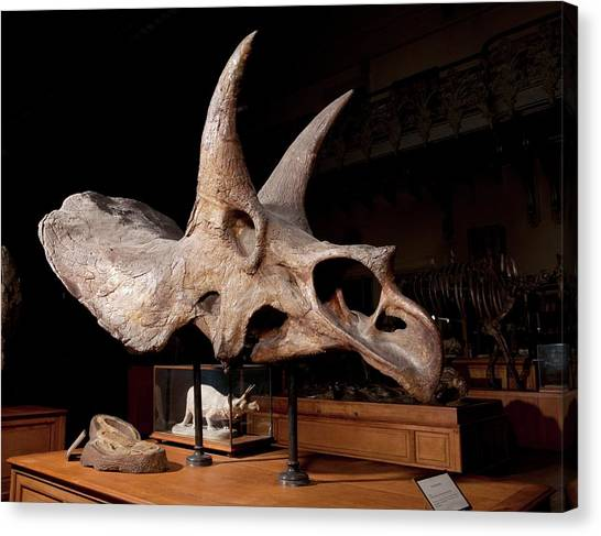Triceratops Canvas Print - Triceratops Fossil Skull by Pascal Goetgheluck/science Photo Library