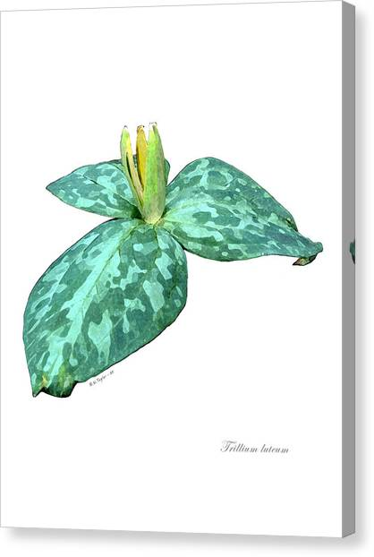 Trillium 3 Canvas Print