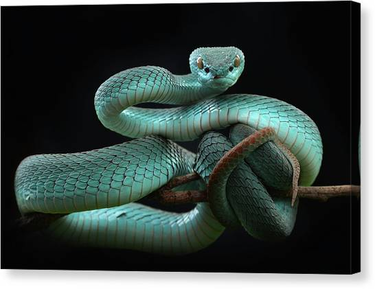 Vipers Canvas Print - Trimeresurus Insularis [blue] by Wel Nofri