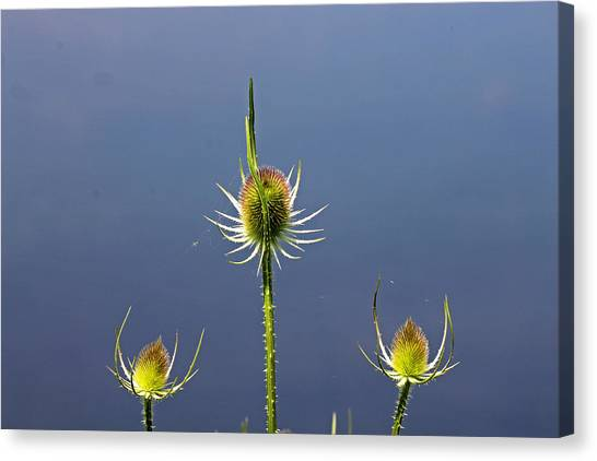Trio Of Teasels Canvas Print