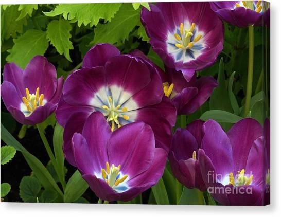 Triumph Tulips Negrita Variety Canvas Print