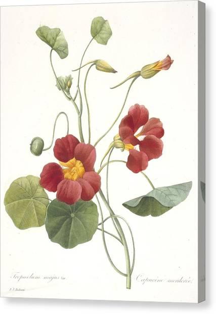 Nasturtiums Canvas Print - Tropaeolum Majus Garden Nasturtium by Pierre Joseph Redoute