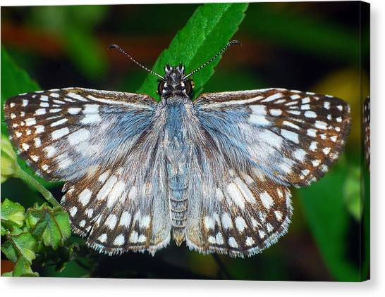 Tropical Checkered Skipper Canvas Print