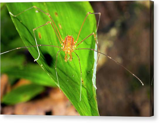 Amazon Rainforest Canvas Print - Tropical Harvestman On A Leaf by Dr Morley Read