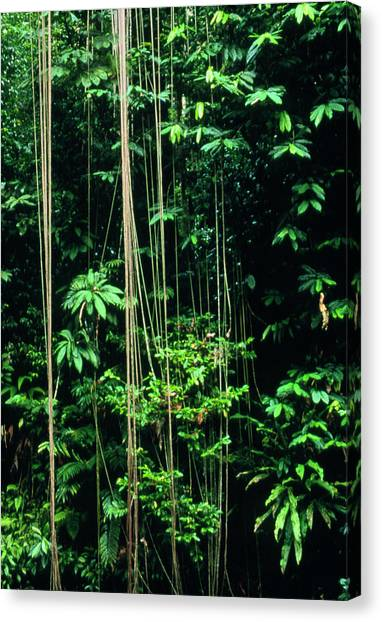 Tropical Rainforests Canvas Print - Tropical Rainforest In Costa Rica by William Ervin/science Photo Library