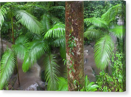 Tropical Rainforests Canvas Print - Tropical Rainforest, Mossman River by Peter Adams