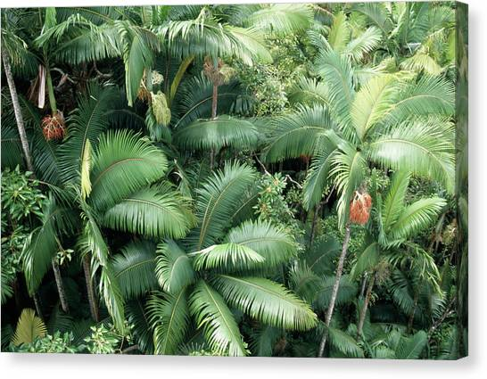 Tropical Rainforests Canvas Print - Tropical Rainforest by Tony Craddock/science Photo Library