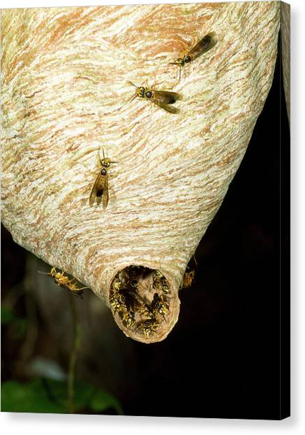 Amazon Rainforest Canvas Print - Tropical Wasp Nest by Dr Morley Read