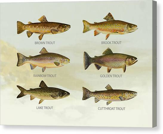 Angling Canvas Print - Trout Species by Aged Pixel