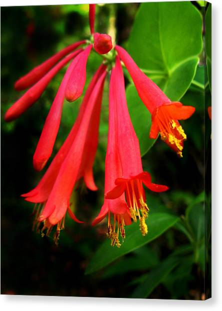 Wild Trumpet Honeysuckle Canvas Print