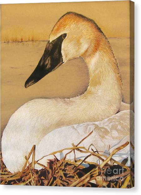 Sold Trumpeter Swan Canvas Print