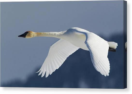 Trumpeter Swan, Winter Flight Canvas Print by Ken Archer