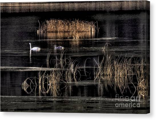 Trumpeter Swans A Swimming Canvas Print