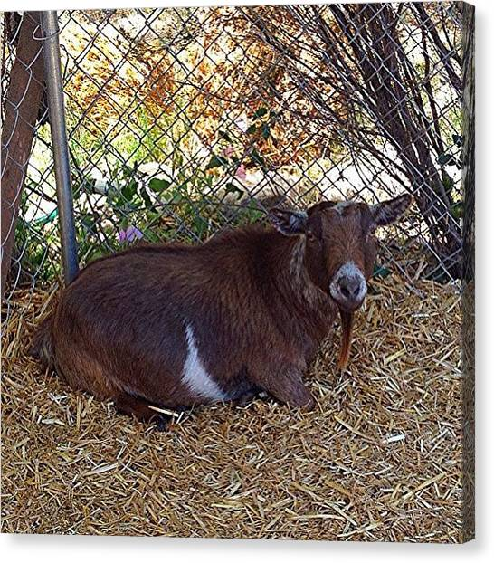 Goats Canvas Print - Trying To Find A #fureverhome For Mini by Jim Neeley