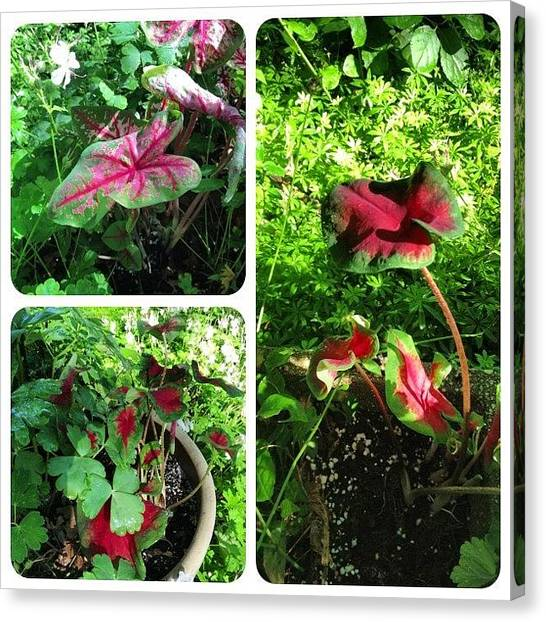 Green Canvas Print - Tucked In A Few #caladium #plants This by Teresa Mucha