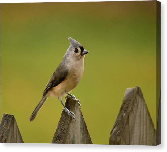 Tufted Titmouse Canvas Print by Judy Genovese
