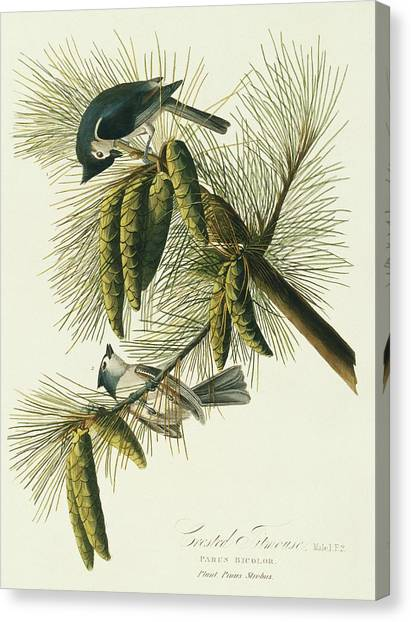 Titmice Canvas Print - Tufted Titmouse by Natural History Museum, London/science Photo Library