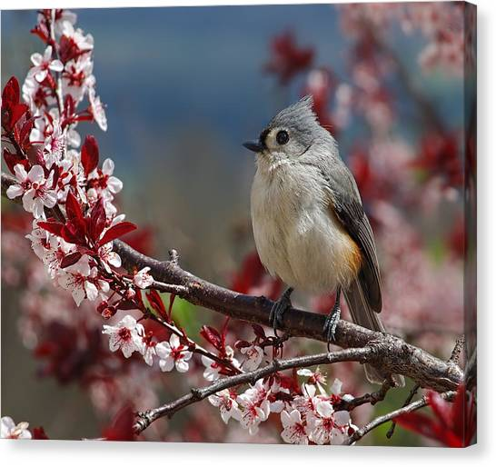 Titmice Canvas Print - Tufted Titmouse On Ornamental Plum Blossoms by Lara Ellis