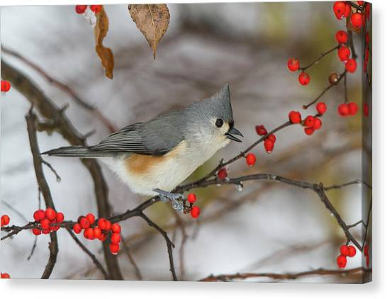 Acrobatic Canvas Print - Tufted Titmouse (parus Bicolor by Richard and Susan Day