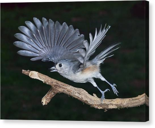 Tufted Titmouse Take-off Canvas Print