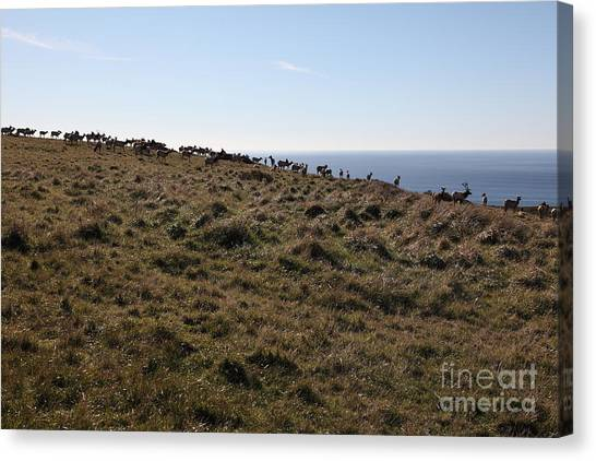 Tules Elks Of Tomales Bay California - 5d21276 Canvas Print by Wingsdomain Art and Photography